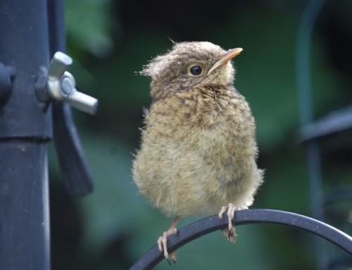«Babyvögel» nicht einfach einsammeln
