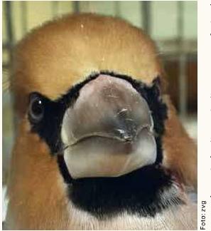 Der Kirschkernbeisser: Charaktervogel der Laubwälder. Mit seinem ausgeprägten Kegelschnabel kann er kraftvoll Nüsse und Samen knacken.