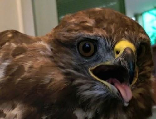 Wer vergiftet da Greifvögel?